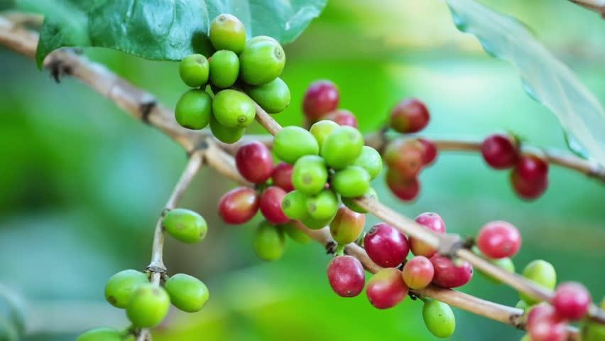 Closeup Ripe Coffee cherries beans on a coffea tree branch