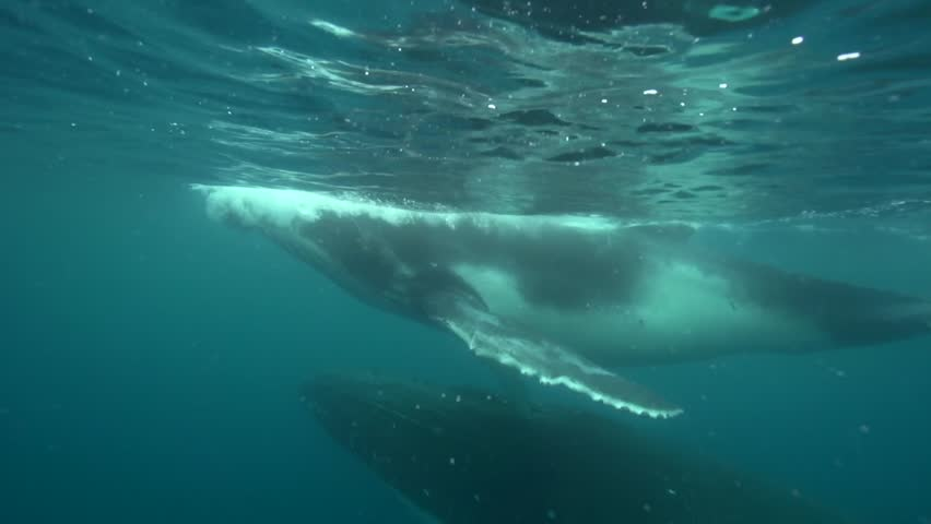 humpback whales, mother and calf around tahiti, south pacific #5729882
