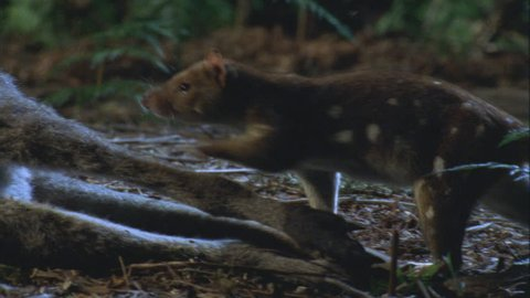 quoll walks along wallaby carcass then feeds