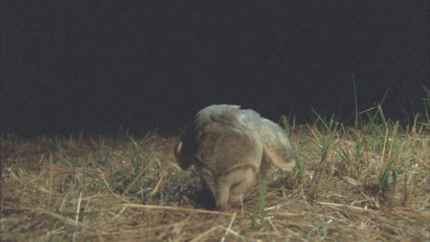 Barn Owl lands right on top of a mouse and kills it with its talons. It begins to eat. The barn owl lifts the rodent.