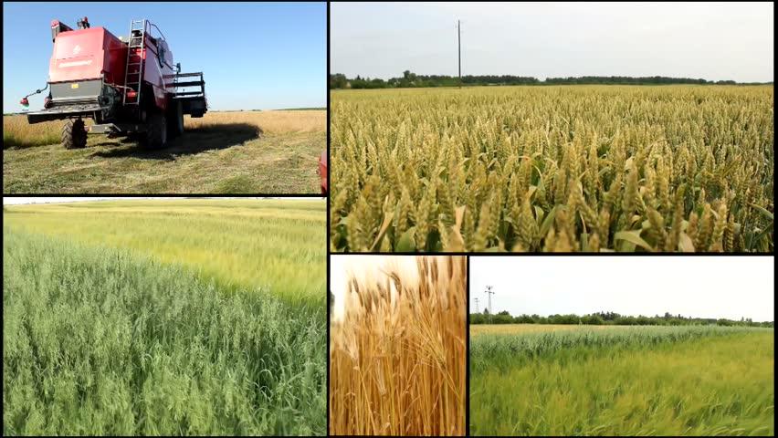 Combine in the field harvest,wheat ,barley,oats,grain agriculture field multi split screen   Shutterstock HD Video #5759012