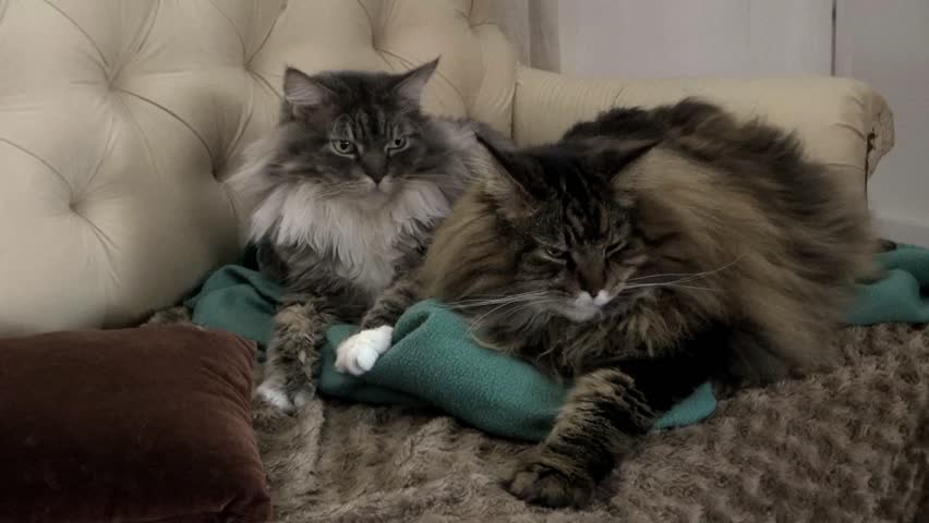 Maine Coon Cats Turn Heads in Unison | Shutterstock HD Video #5797052