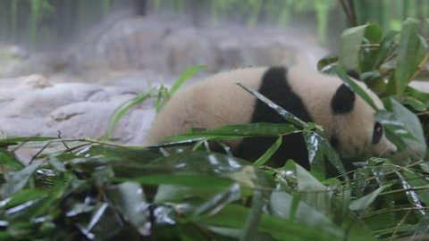 baby panda and mother in a zoo.