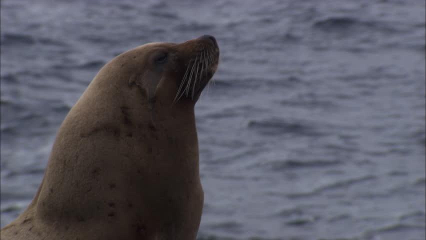 Close up of an Australian Sea Lion #5832812