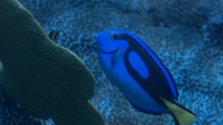 blue hippo tang fish swimming by a reef