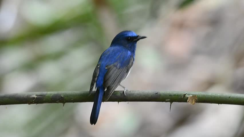 Hainan Blue Flycatcher bird sitting on the branch with nice back profile