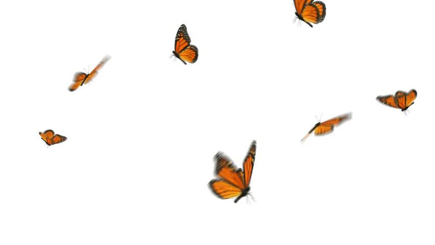 Monarch butterflies flying away - photo#41