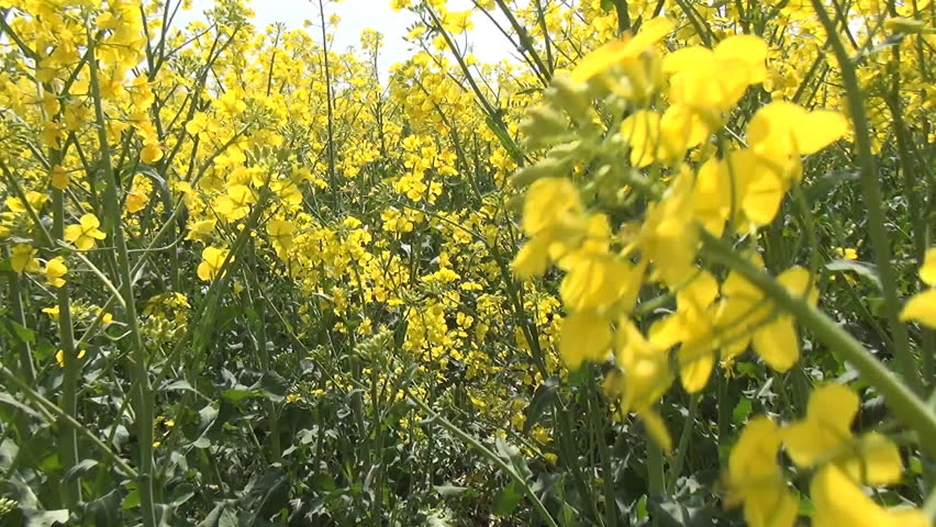 Flying on Rapeseed in Agriculture Field, POV, View, Walking in Yellow Rape