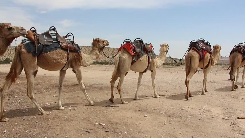 Camels Caravan in the Desert Stock Footage Video (100% Royalty ...