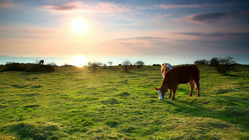 Cows in Hovs Hallar in Sweden eating grass in the backlit of the sun.