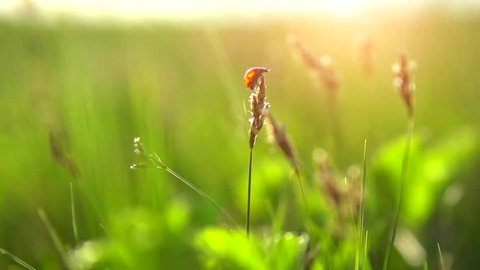 Spring Meadow with Ladybug flying to sunset. Green Grass. Nature. Environment concept. Green Nature Background. Slow motion 240 fps. Full HD 1080 stock video footage. Slowmo