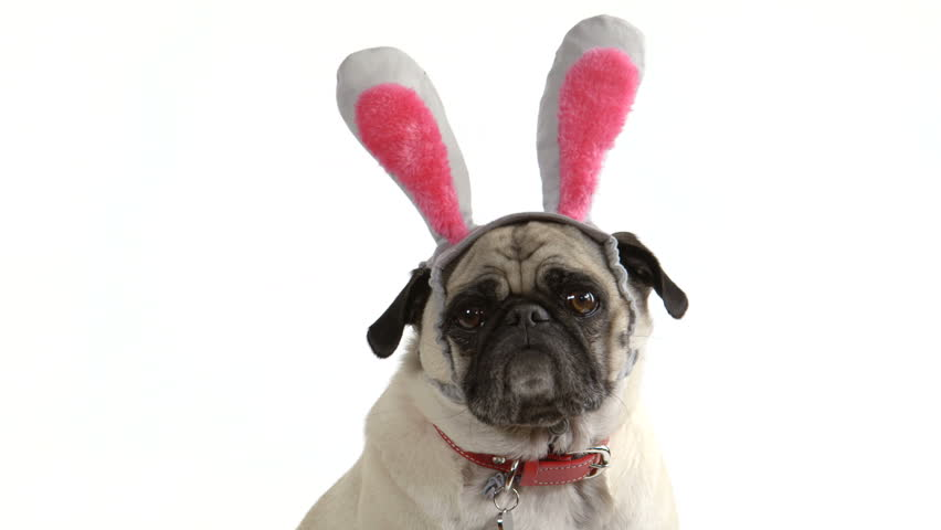 Two shots (one wide, one close-up) of a cute pug dog wearing Easter bunny ears | Shutterstock Video #6223781