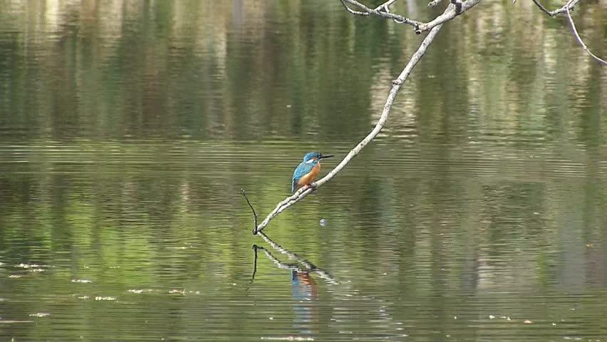 "Date:May 15, 2014 ,Filming site:""Shinrinkouen"",Hokkaido,Japan  / Diving scene of bird kingfisher jewelry / Scene to take off the scene dive into water of bird kingfisher jewelry"
