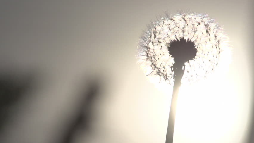 Blowing Dandelion Seeds. Flying dandelion seeds against the bright sun. Slow Motion at a rate of 240 fps | Shutterstock HD Video #6419240