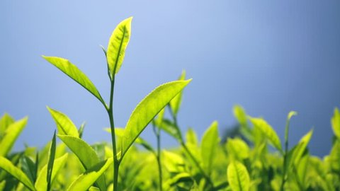 Tea plants close-up in Cameron highlands, Malaysia