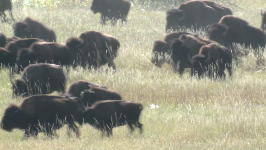 Bison Herd Running Fall Stampede   Shutterstock HD Video #6496361