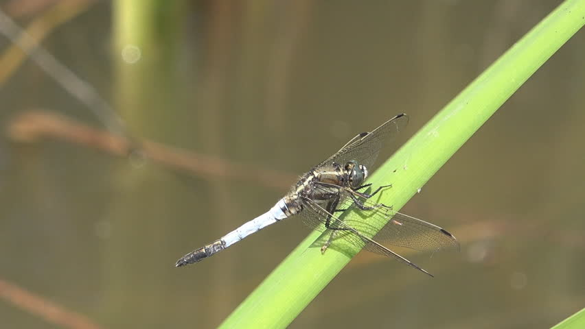 Closeup, detail of dragon fly resting on leaf reed, green plant on lake or pond, beautiful bug sitting for hunting food in summer day   Shutterstock HD Video #6503222