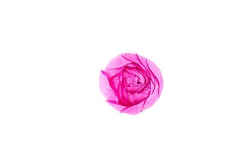 Time-lapse of opening pink rose, isolated on white