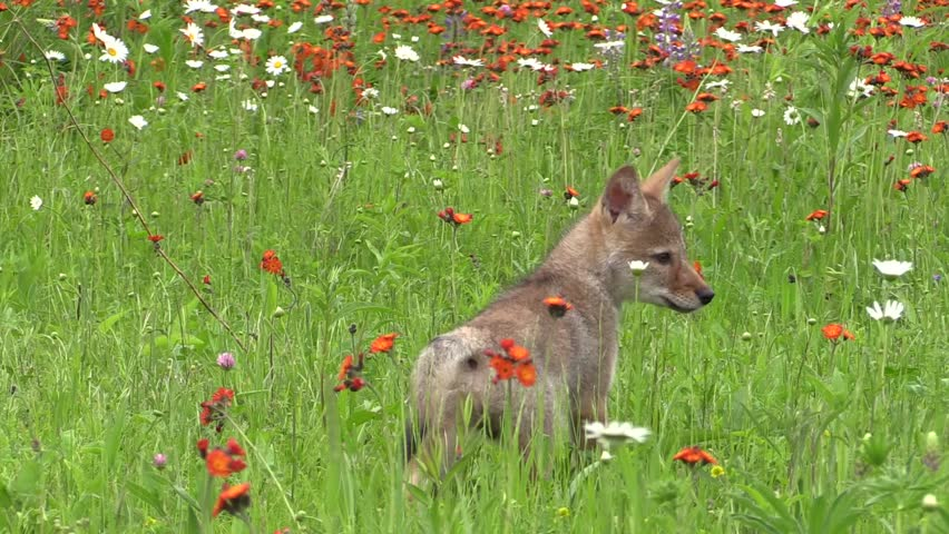 A baby coyote plays and runs in a field of flowers