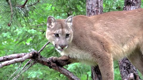 A cougar perched in a tree, face on