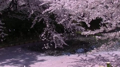Spring in Japan. Cherry blossom petals falling down on the streaming water. Hirosaki Park, Japan 2014