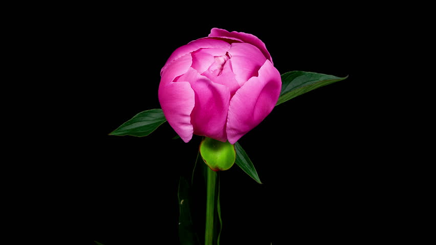 Timelapse of pink peony flower blooming on black background in 4K (4096x2304)