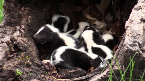 A surfeit of skunk kits in a hollow log