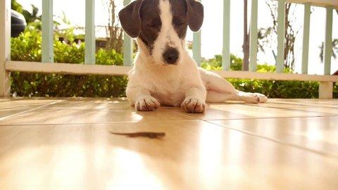 Curious Cute Dog ing on Little Gecko. Thailand. Koh Samui.