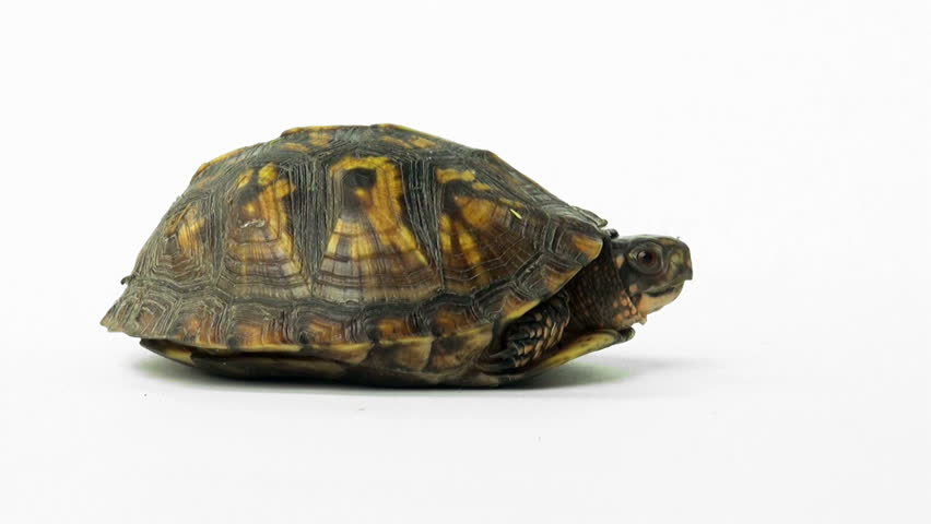 stock video clip of eastern box turtle on a white