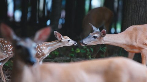 Whitetail Deer (Odocoileus virginianus) in Georgia, interaction of fawn as it is introduced into deer herd, Slow-motion, 1/2 natural speed