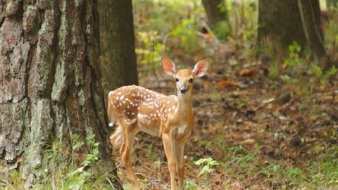 Fawn Whitetail Deer (Odocoileus virginianus) hiding in the forest, flees for safety. July in Georgia. Slow motion, 1/2 natural speed.
