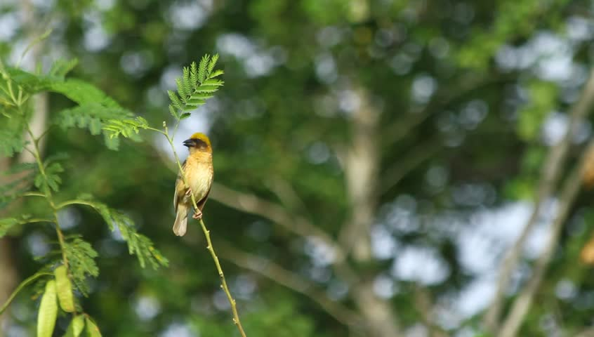 A Weaverbird On Branch   HD Stock Footage Clip