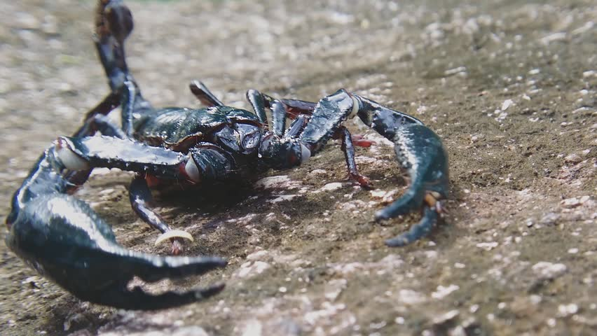 Dangerous scorpion close up view. HD video footage