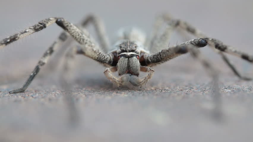 Common rain spider, also known as huntsman spider, grooming itself on brick pavement