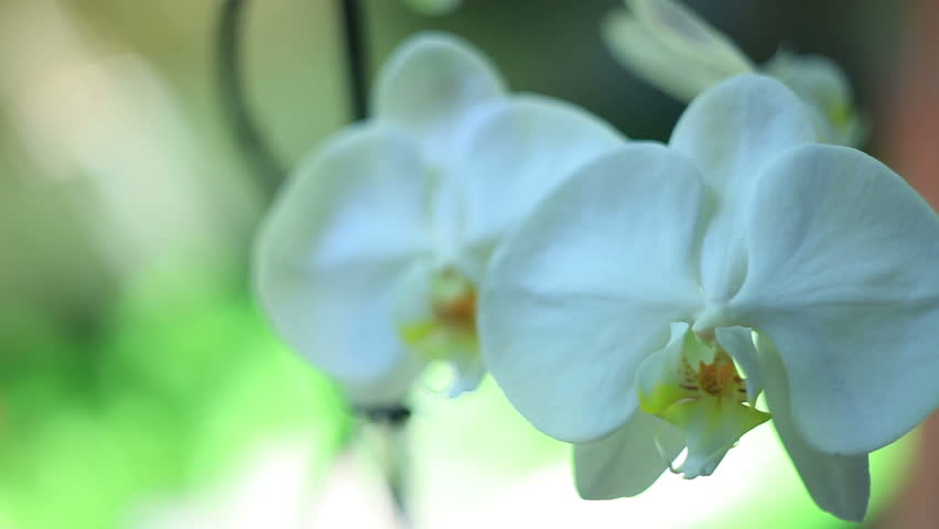 White orchid   Shutterstock HD Video #7080592