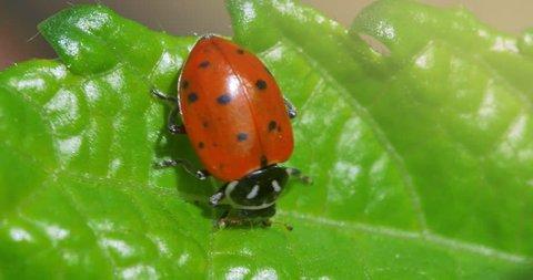 Ladybird ladybug bug insect on green grass, Macro closeup, 4K.