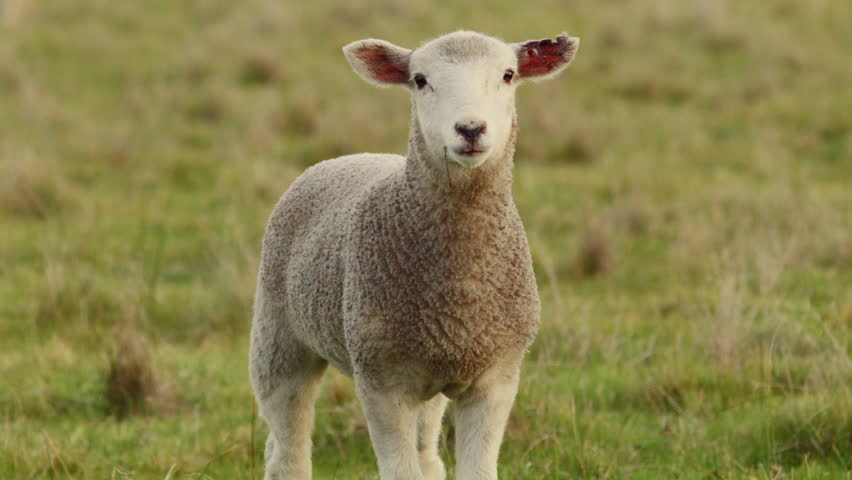 A young lamb looking at the camera and bleating, while standing in a grassy paddock on an Australia farm.