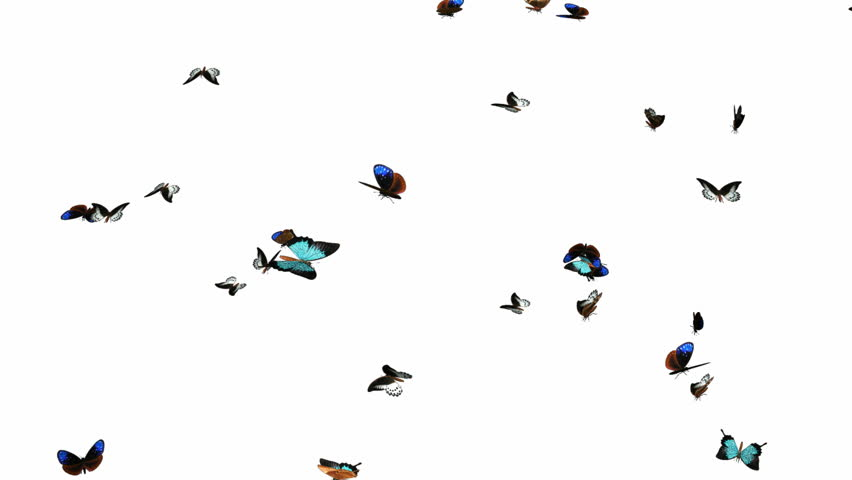 Looping Butterflies Slow Swarm Animation 2. With Alpha Mask, isolated on white