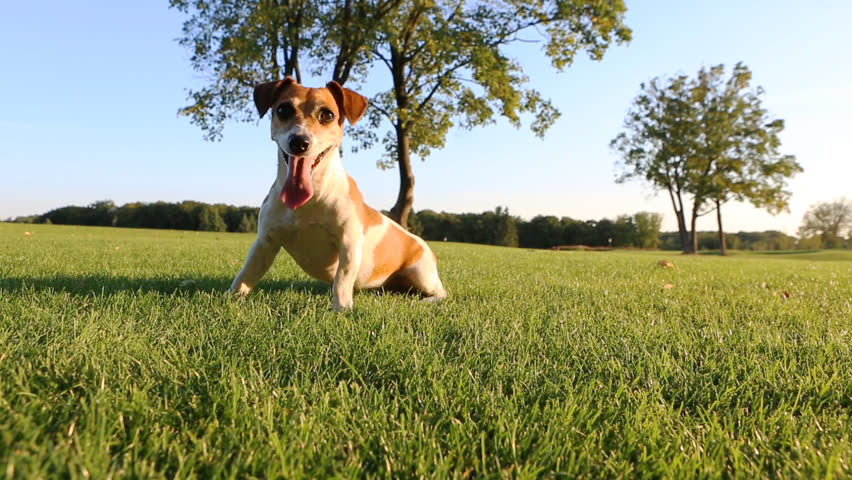 Agitated young healthy active dog runs on a green field with trees. Funny Jack Russell Terrier best dog! #7270882