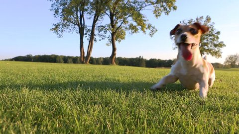 Agitated young healthy active dog dance on a green field with trees. Cute Jack Russell Terriers best dogs!