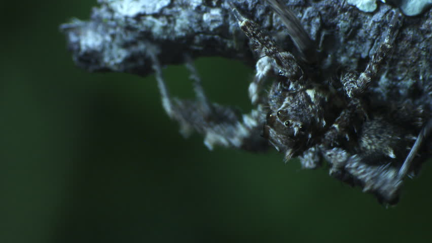 Close up of a Portia Spider crawling on a branch