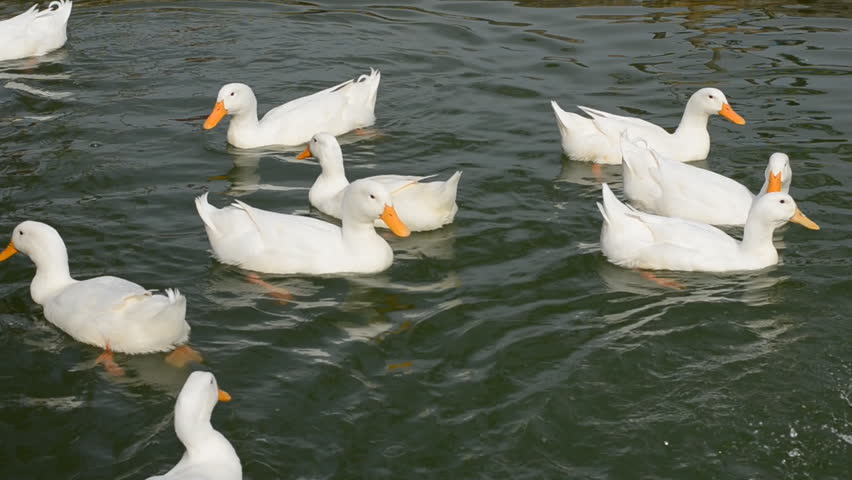 ducks swimming on the - photo #24