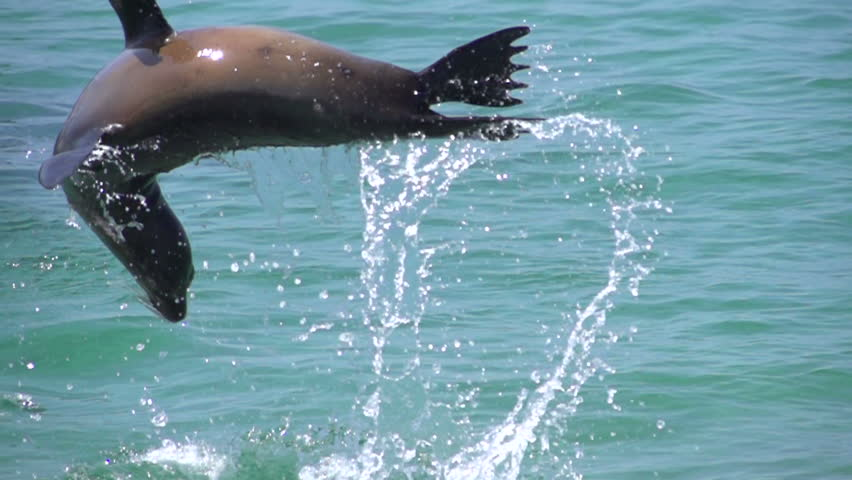 Sea Lions jumping around in the sea in slow motion at the Galapagos Islands, Ecuador