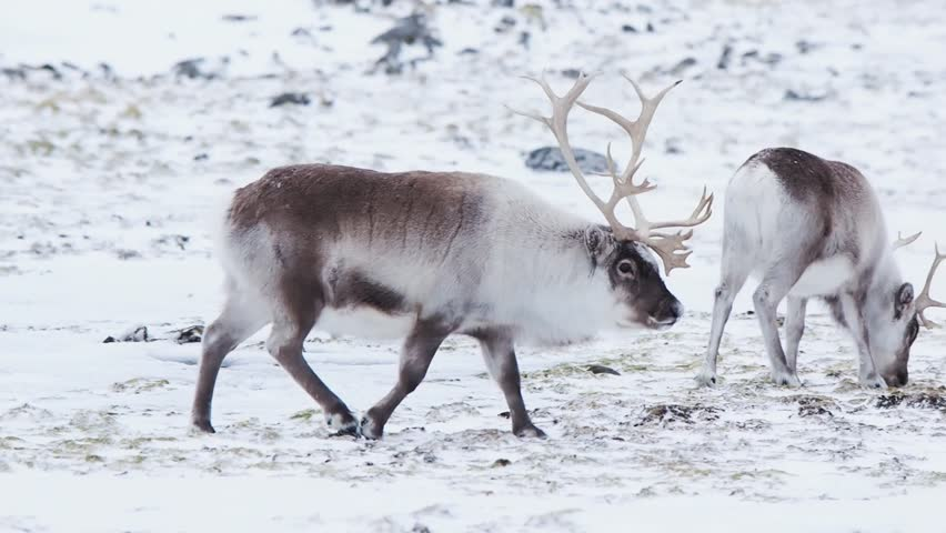 Baby caribou