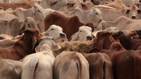 Brahman Beef Cattle Cow livestock in sale yard pens waiting for live export