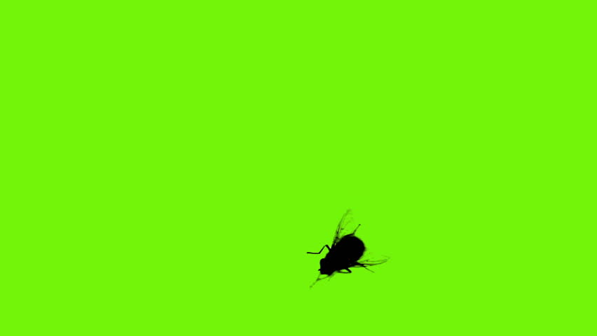 Housefly separated on green screen