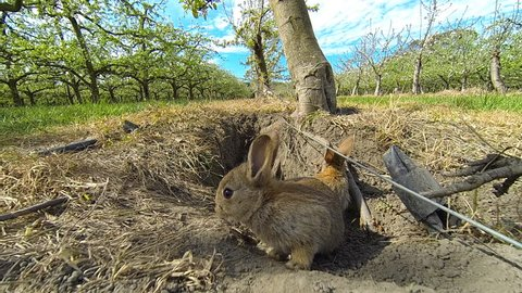 3 young rabbits emerge from their burrow beneath an apple orchard and scurry about.