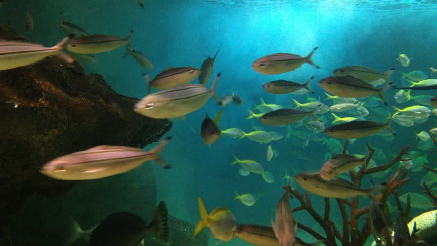 Underwater view of koi fish swimming on surface pond in for Unusual pond fish
