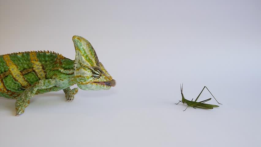 Chameleon hunts grasshopper on a white backg