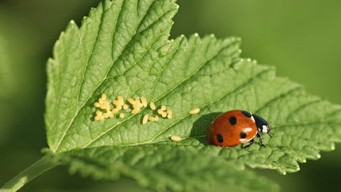 UHD video - Coccinella septempunctata (seven-spot ladybird) on green leaf with eggs